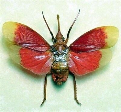 One Real Red Black Lanternfly Pyrops Detanii Mounted Wings Spread
