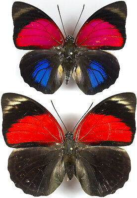 Agrias Claudina Lugens Pair From North-Peru