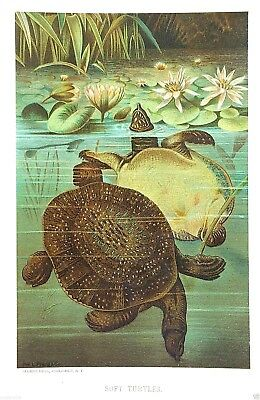 1885 Prang Chromo TURTLE/Turtles In A POND & LILIES! Print L@@K NICE !