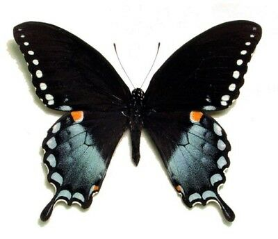 One Real Butterfly Blue Green Papilio Troilus Spicebush Swallowtail Wings Closed