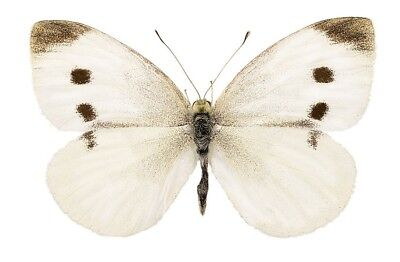 One Real Butterfly Cabbage White Pieris Rapae Unmounted Wings Closed