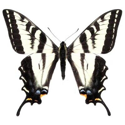 One Real Butterfly Papilio Eurymedon Pale Swallowtail Unmounted Wings Closed