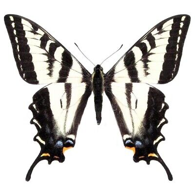 One Real Butterfly Papilio Eurymedon Pale Tiger Zebra Swallowtail Wings Closed