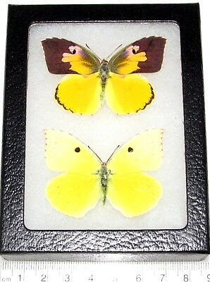 Real Framed Butterflies California Dogface Zerene Eurydice Pair Male Female