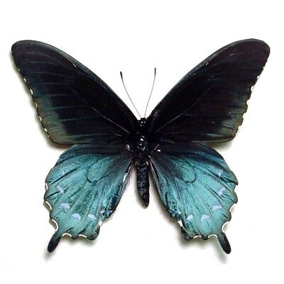 One Real Butterfly Blue Battus Philenor Swallowtail Rect Unmounted Wings Closed