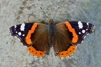 One Real Butterfly Red Admiral Vanessa Atalanta Rubria Unmounted Wings Closed