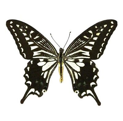 One Real Butterfly Papilio Xuthus Swallowtail Hawaii Unmounted Wings Closed