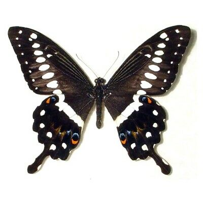 One Real Butterfly Papilio Lormieri Swallowtail Unmounted Wings Closed Africa