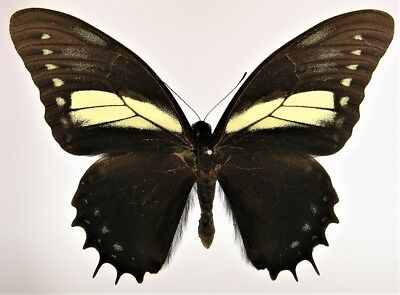 One Real Butterfly Papilio Menatius Unmounted Wings Closed El Salvador