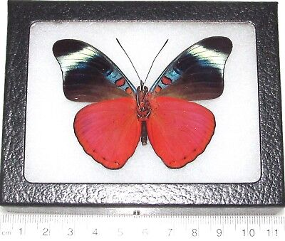 Real Framed Butterfly Red Flasher Panacea Prola Verso Peru