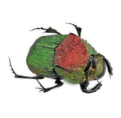 One Real Green Phanaeus Vindex Male Horned Rhinoceros Dung Beetle Mounted Pinned