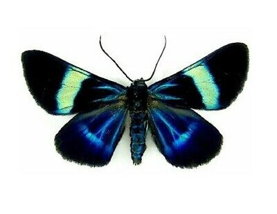 One Real Day Flying Moth Blue Green Milionia Delicatula Unmounted Wings Closed