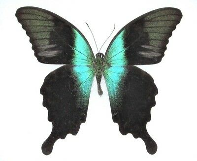 One Real Butterfly Green Papilio Peranthus Unmounted Wings Closed Indonesia