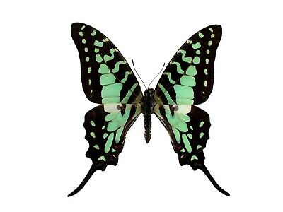 One Real Butterfly Blue Green Graphium Antheus Swallowtail Wings Closed Africa