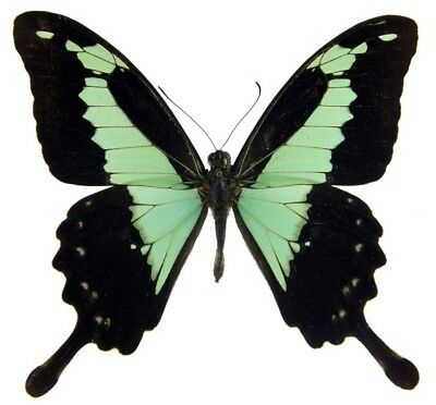One Real Butterfly Blue Green Papilio Phorcas Swallowtail Unmounted Wings Closed