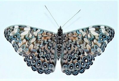 One Real Butterfly Blue White Hamadryas Epinome Unmounted Wings Closed