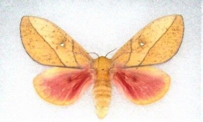 One Real Saturn Moth Sphingicampa Montana Female Arizona Unmounted Wings Closed