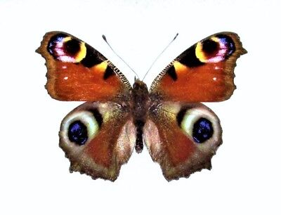 One Real Butterfly Blue Purple Red Inachis Io Peacock Buckeye Wings Closed