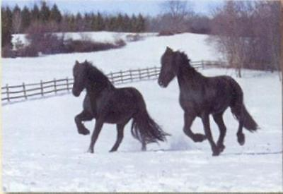 Xmas Cards HORSE FRESIAN PAIR Snow Scene Holiday Cards 10 per box