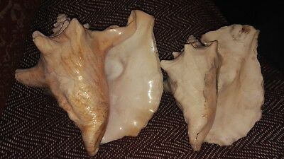 2 X LARGE CONCH SHELLS LARGEST 24 x 20 x 16 cm.SEE PHOTOS DECORATIVE GOOD COND