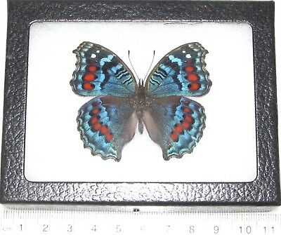 Real Framed Butterfly Blue Red Precis Octavia South Africa O2