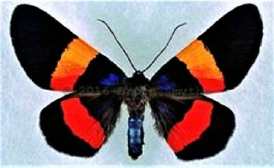 One Real Day Flying Moth Red Orange Milionia Drucei Unmounted Wings Closed