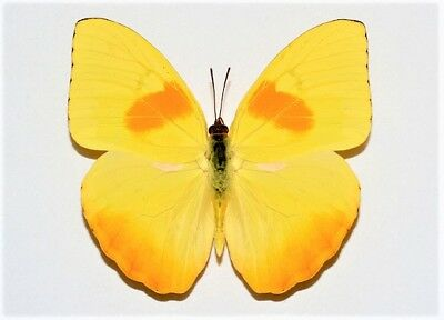 One Real Butterfly Phoebis Philea Orange Barred Sulfur Wings Closed Florida