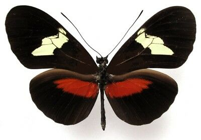 One Real Butterfly Red Heliconius Hortense El Salvador Unmounted Wings Closed