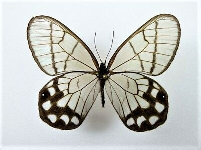 One Real Butterfly Clear Glass Wing Haetera Hypaesia Unmounted Wings Closed