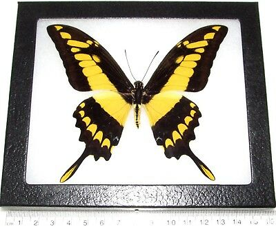 Real Framed Butterfly Papilio Thoas Giant Swallowtail Peru