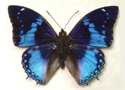 One Real Butterfly Blue Charaxes Smaragdalis Rca Unmounted Wings Closed