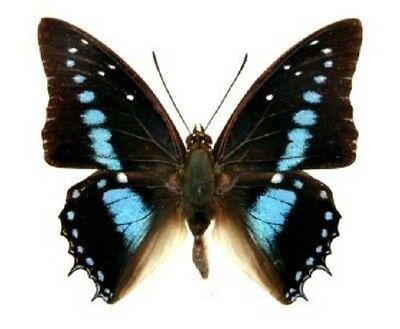 One Real Butterfly Blue Charaxes Imperialis Unmounted Wings Closed
