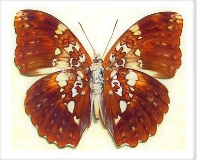 One Real Butterfly Cymothoe Beckeri Male Verso Unmounted Wings Closed