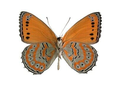 One Real Butterfly Orange Blue Crenis Pechueli Verso Unmounted Wings Closed