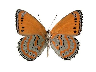 One Real Butterfly Orange Blue Crenis Pechuelli Verso Unmounted Wings Closed