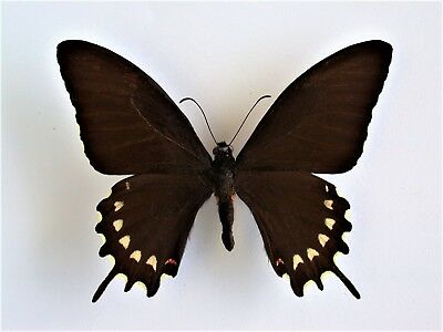 One Real Butterfly Papilio Erostratus Male El Salvador Unmounted Wings Closed