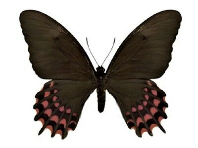 One Real Butterfly Papilio Erostratus Female El Salvador Unmounted Wings Closed