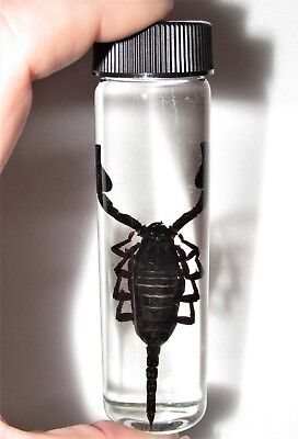 REAL BLACK EMPEROR SCORPION PRESERVED GLASS WET SPECIMEN 4in VIAL