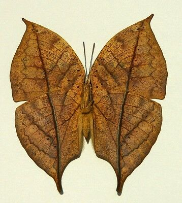 One Real Butterfly Leaf Mimic Kallima Unmounted Wings Closed