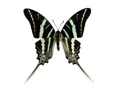 One Real Butterfly Zebra Graphium Rhesus Unmounted Wings Closed