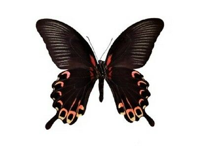 One Real Butterfly Red Pink Papilio Deiphobis Verso Unmounted Wings Closed