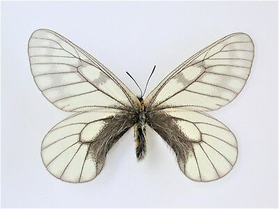 One Real Butterfly Black White Parnassius Glacialis Japan Unmounted Wings Closed