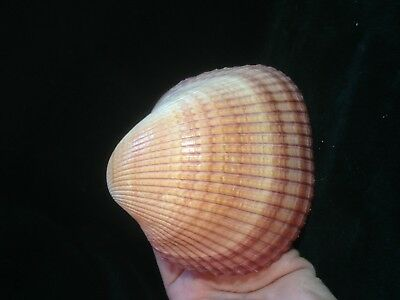 REDUCED! LARGE Cockle seashell 5 inches wide