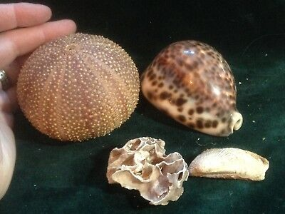 REDUCED! Lot of 3 sea shells, Sea Urchin, Spotted Helmet Conch, barnacle coral