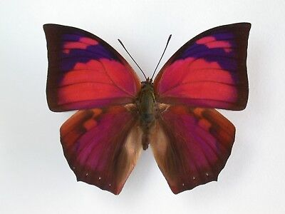 One Real Butterfly Red Pink Anaea Ryphea Peru Unmounted Wings Closed