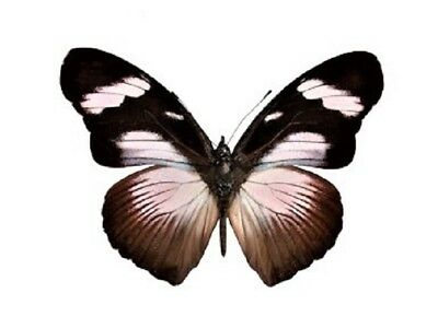 One Real Butterfly Black White Hypolimnas Anthedon Unmounted Wings Closed