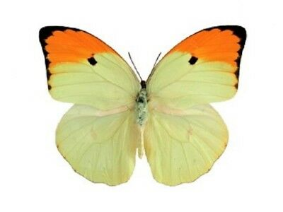 One Real Butterfly Orange Tip Anteos Menippe Unmounted Wings Closed