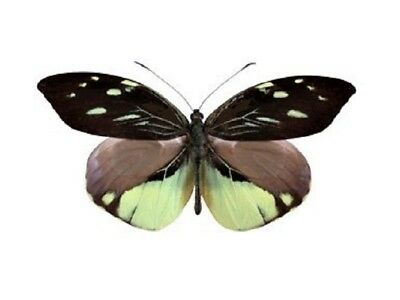 One Real Butterfly Black Yellow Dismorphia Nemesis Peru Unmounted Wings Closed