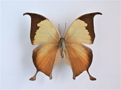 One Real Butterfly Anaea Electra El Salvador Unmounted Wings Closed