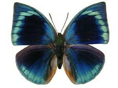 One Real Butterfly Blue Green Anaea Polyxo Unmounted Wings Closed